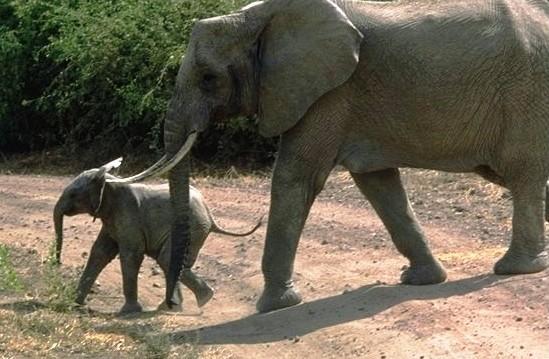 Elefante_Lake_Manyara_Park2